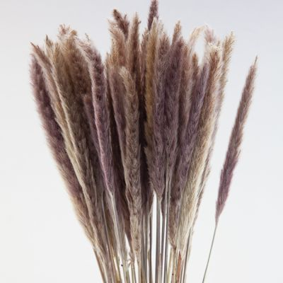 PAMPAS GRASS 15PCS BUNCH 70CM NATURAL